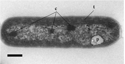 図4 PTGのTEM像t:チラコイド,p:ポリリン酸顆粒,c:カルボキシソーム(スケールバー:500nm)